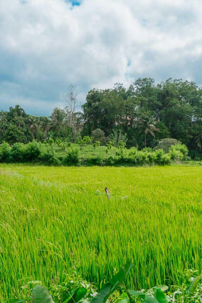 Rismarker i Sri Lanka